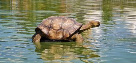 Galápagosi óriásteknős költözött a kondorosi tóba!